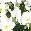 Viola- Rocky Pure White