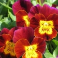 Viola- Rocky Red with Yellow Face
