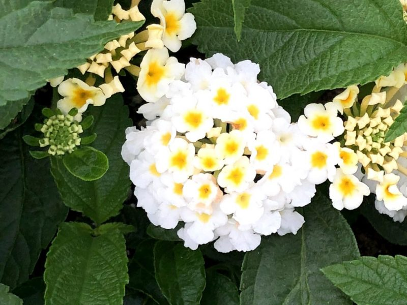 Lantana - Luck White