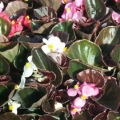 Bronze Begonia-Mix