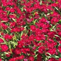Dianthus- Ideal Crimson
