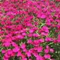 Dianthus- Ideal Select Rose