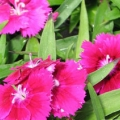 Dianthus- Ideal Select Violet