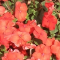 Impatiens- Bright Orange