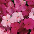Impatiens- Cranberry Punch Mix