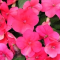 Impatiens- Punch