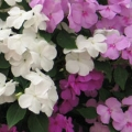 Impatiens- Seaside Mix