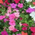 Impatiens- Super Elfin Mix