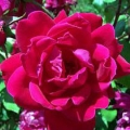 Knockout Rose- Double Red