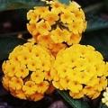 Lantana- Pure Gold