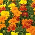 Marigold- Mix