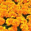 Morigold- Orange
