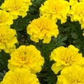 Marigold- Yellow
