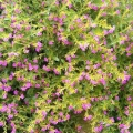 Mexican Heather- Purple