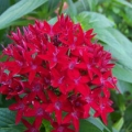Pentas- Bright Red