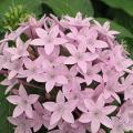 Pentas- Lavender