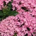 Pentas- Pink