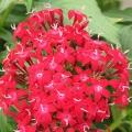 Pentas- Red Lace