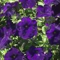Petunia- Blue