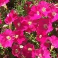 Petunia- Rose