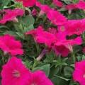Petunia- Spreading Neon Rose