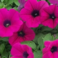Petunia- Spreading Purple