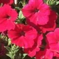 Petunia- Spreading Red