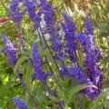 Salvia- Blue