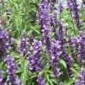 Salvia- Violet
