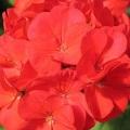 Geraniums- Red