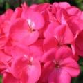 Geranium- Rose