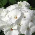 Geranium- White