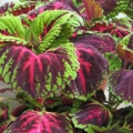 Shade Coleus- Kong Red