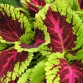 Shade Coleus- Kong Rose