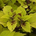 Shade Coleus- Pineapple
