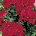 Trailing Geranium- Deep Red