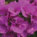 Trailing Geranium- Lavender