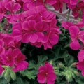 Trailing Geranium- Rose