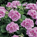 Vegetative Geranium- Pink