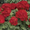 Vegetative Geranium- Red