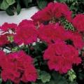 Vegetative Geranium- Rose