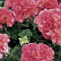 Vegetative Geranium- Salmon
