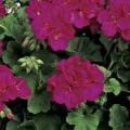 Vegetative Geranium- Violet