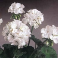 Vegetative Geranium- White