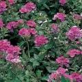 Verbena- Pink