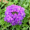 Verbena- Purple