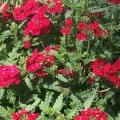 Verbena- Red