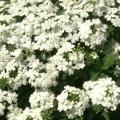 Verbena- White