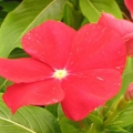 Vinca Pacifica- Dark Red