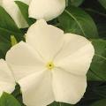 Vinca Pacifica- White